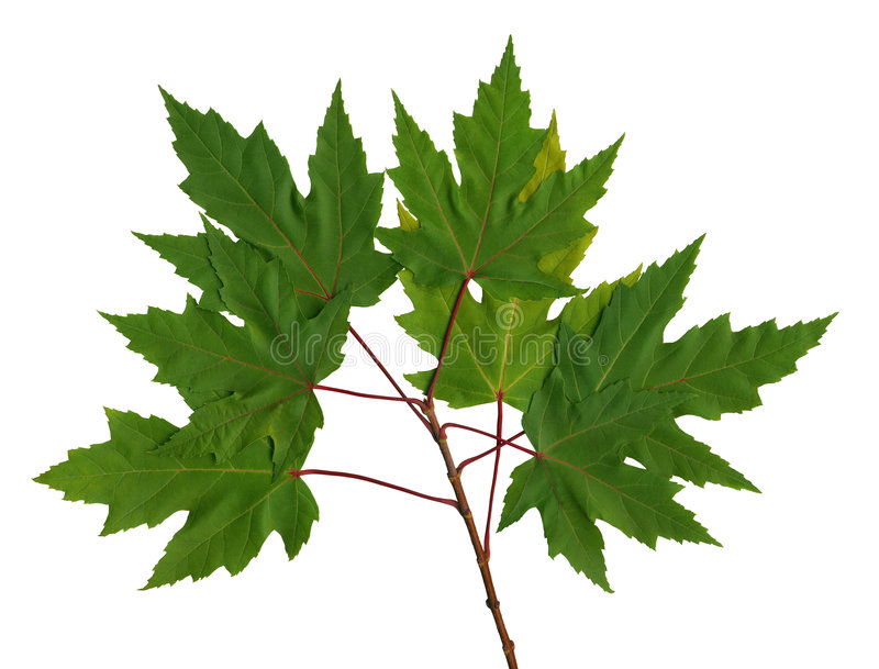 Branch maple. Green branch maple on the isolated white background (scan royalty free stock photo