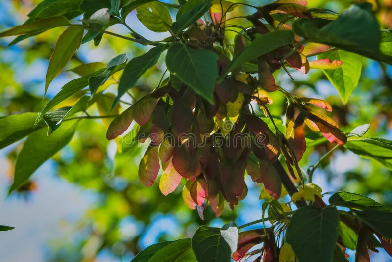 A branch of maple-tree with bunches of seeds and green foliage close-up. Maple tree branch with bunch of seeds at spring, nature stock images