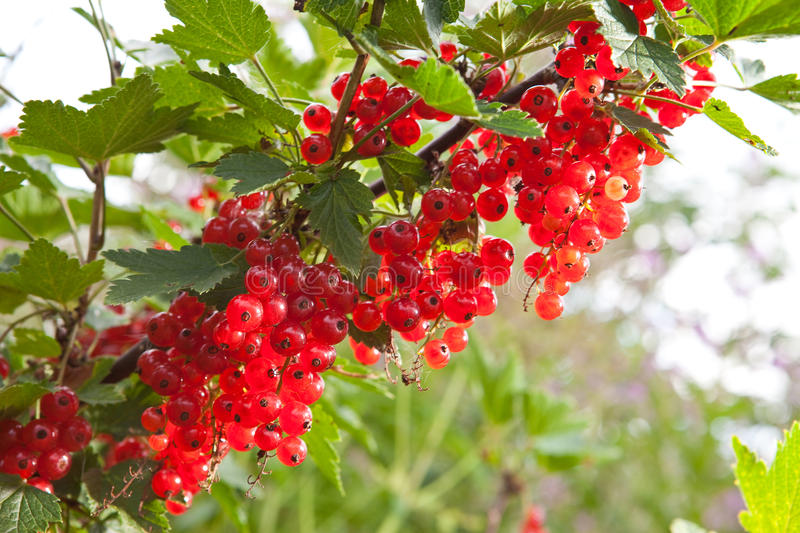 Branch of mature juicy red currant on a bush in a garden in a flight sunny day royalty free stock photography