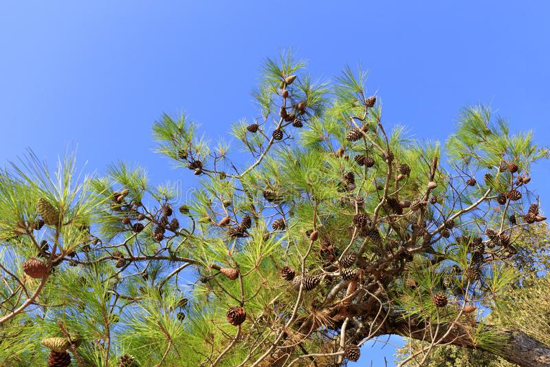 A branch of the mediterranean spruce with cones against the blue sky royalty free stock photography