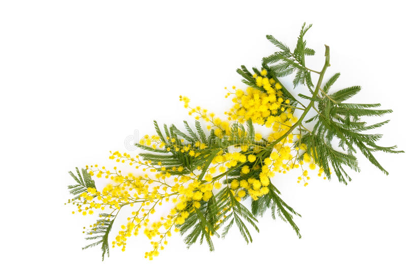 Branch of mimosa. Close up shot of mimosa flower. Isolated on white stock image
