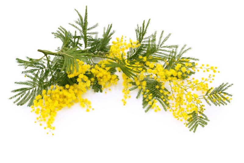 Branch of mimosa. Close up shot of mimosa flower. Isolated on white royalty free stock image