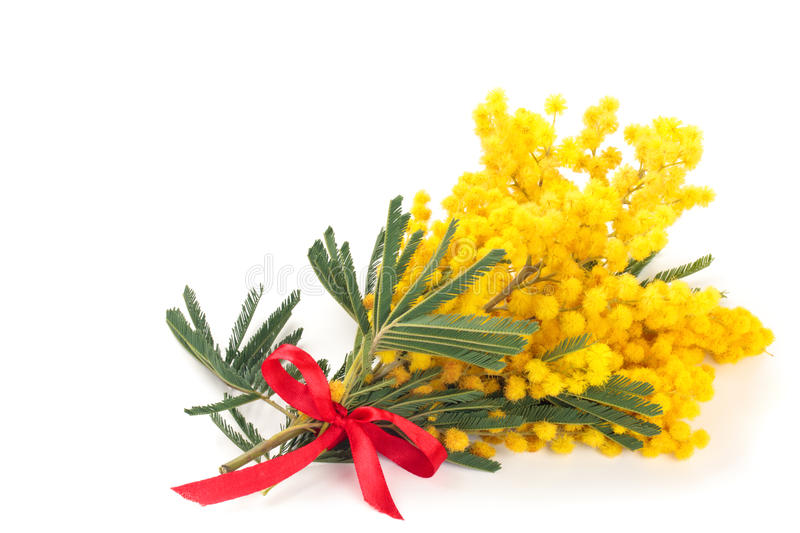 Branch of mimosa. royalty free stock images