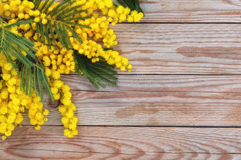 Branch of mimosa. Close up shot of mimosa flowers on wooden rustic background stock photo