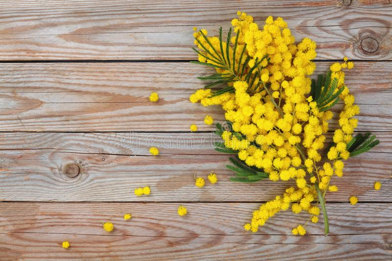 Branch of mimosa. Close up shot of mimosa flowers on wooden rustic background stock images