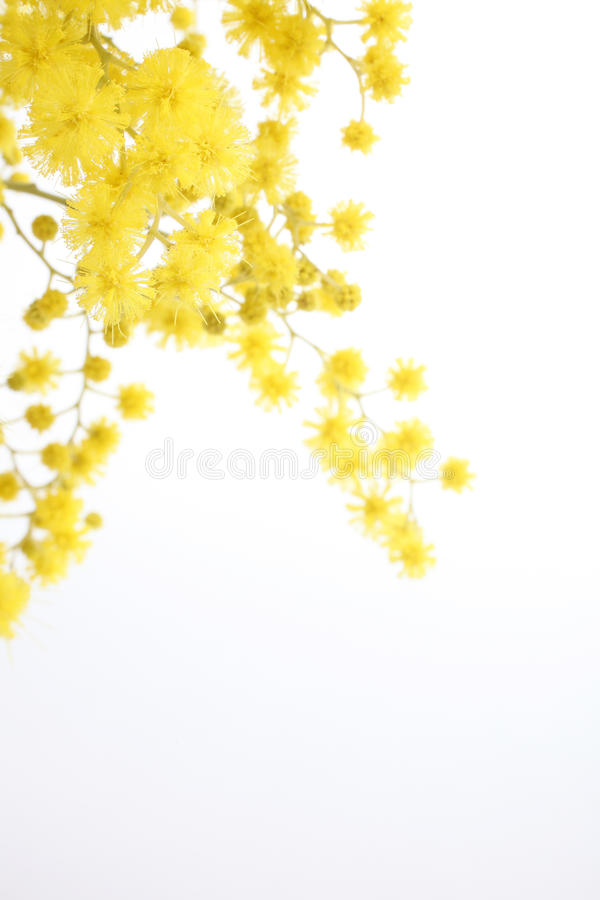 Branch of mimosa isolated on white royalty free stock photography