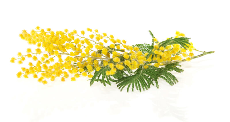 Branch of mimosa. The branch of a mimosa isolated on white stock photo
