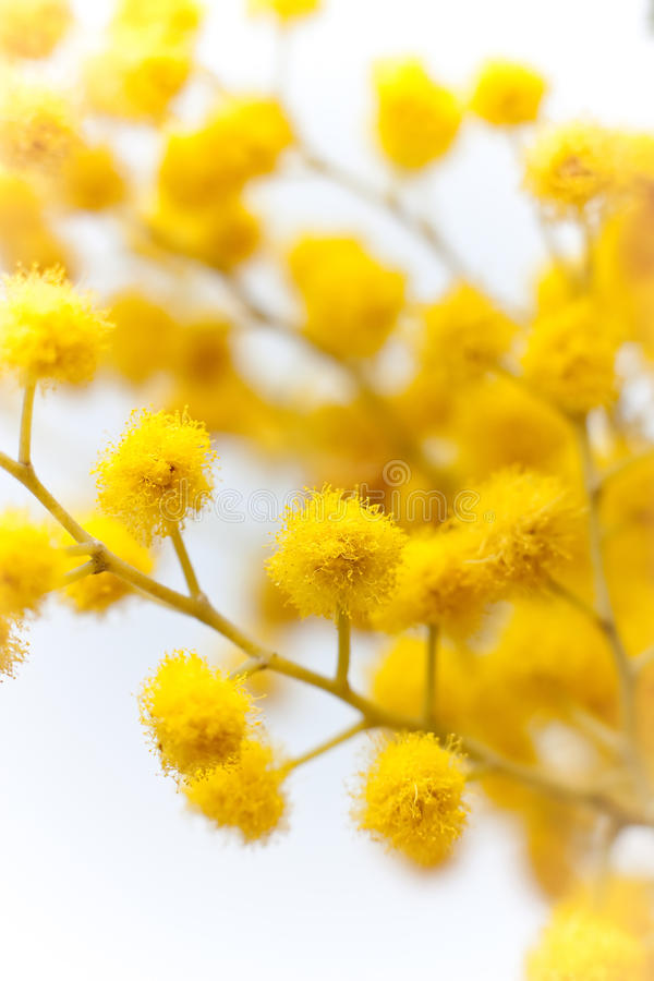 Branch of mimosa plant stock image