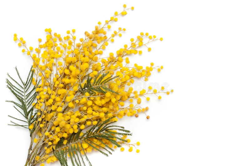 Branch of mimosa plant. With round fluffy yellow flowers stock photo
