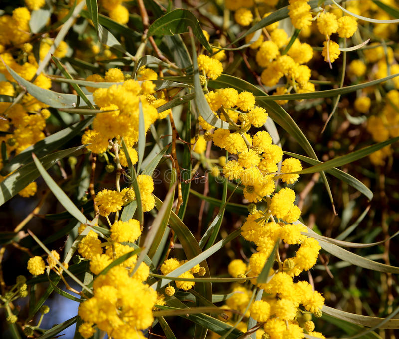 Branch of mimosa plant with round fluffy yellow flowers stock photography