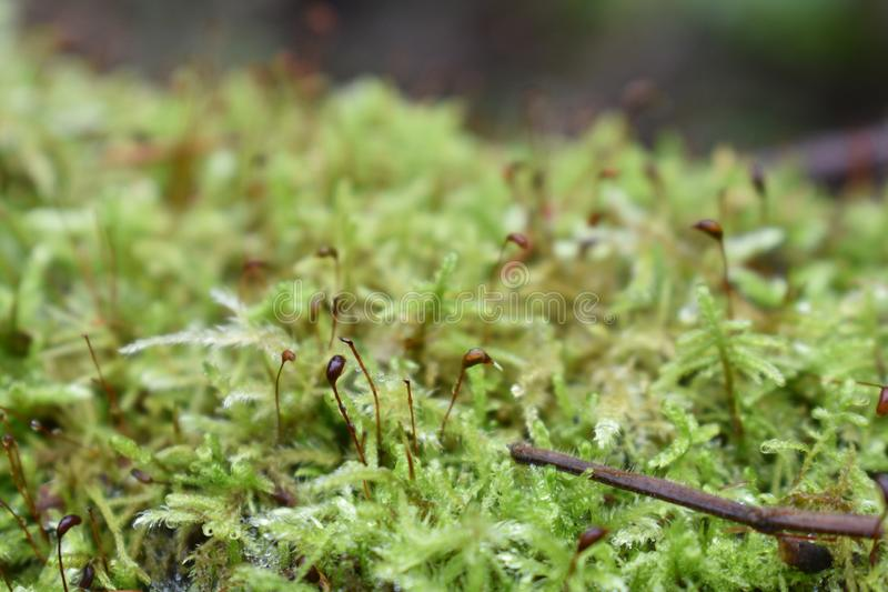 Branch moss sphagnum water drops dew thread like pearls stock photos