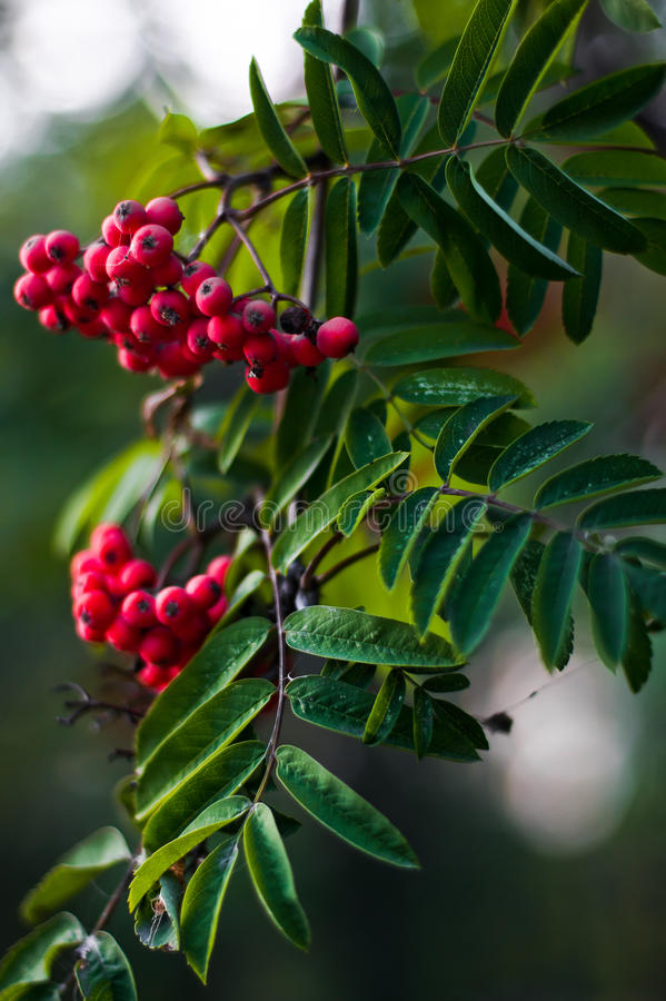 Branch of a mountain ash. With ripe berries closeup royalty free stock photography