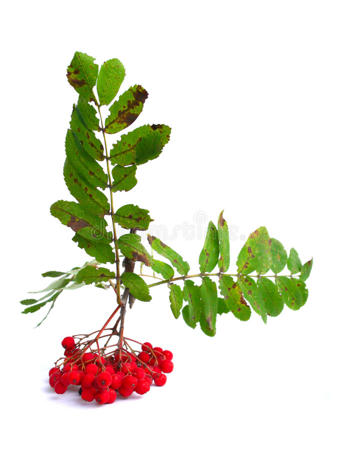 Branch of a mountain ash. оn a white background stock image