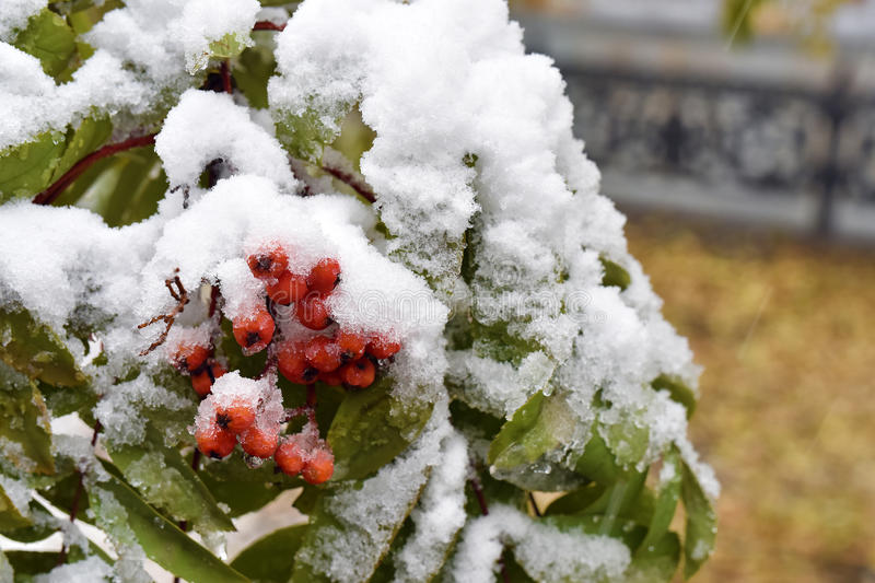 Branch of mountain ash, covered with the first snow royalty free stock image