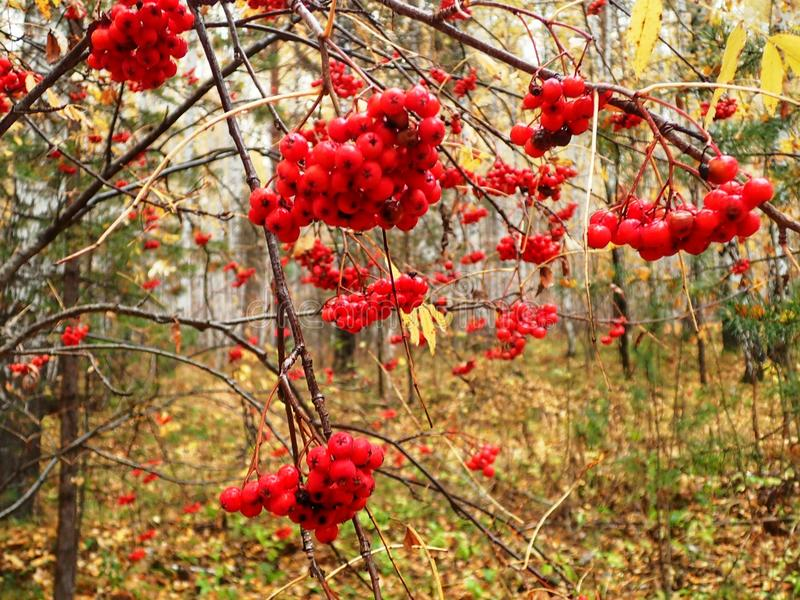 Branch of Mountain ash. Forest in the middle Russia royalty free stock photography