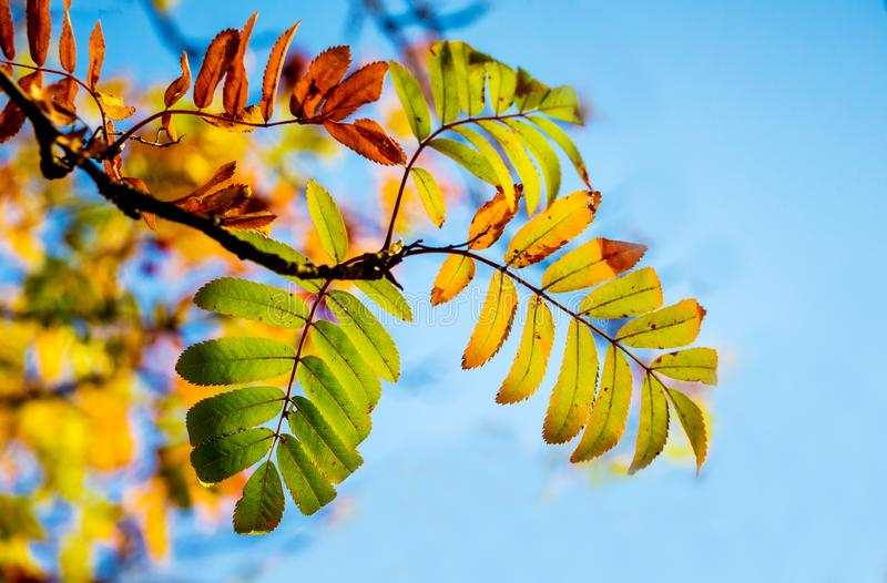 A branch of a mountain ash with multicolored autumn leaves on a background of a blue sky_ royalty free stock image