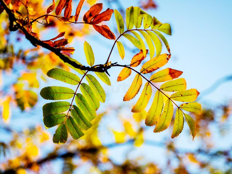 A branch of a mountain ash with multicolored autumn leaves on a background of a blue sky_. A branch of a mountain ash with multicolored autumn leaves on a stock photos