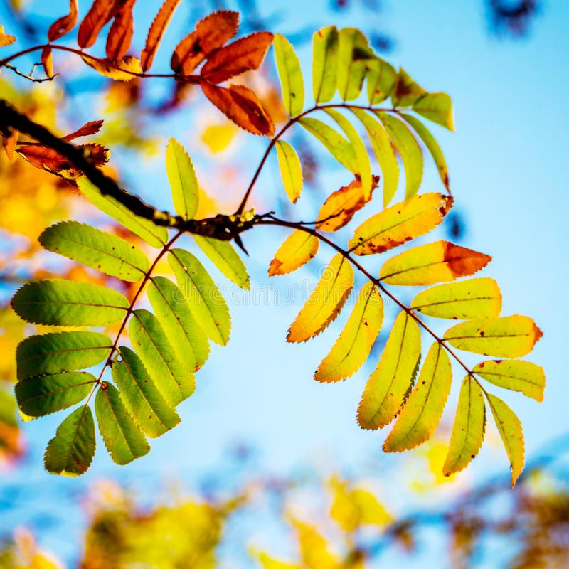 A branch of a mountain ash with multicolored autumn leaves on a background of a blue sky_ stock images