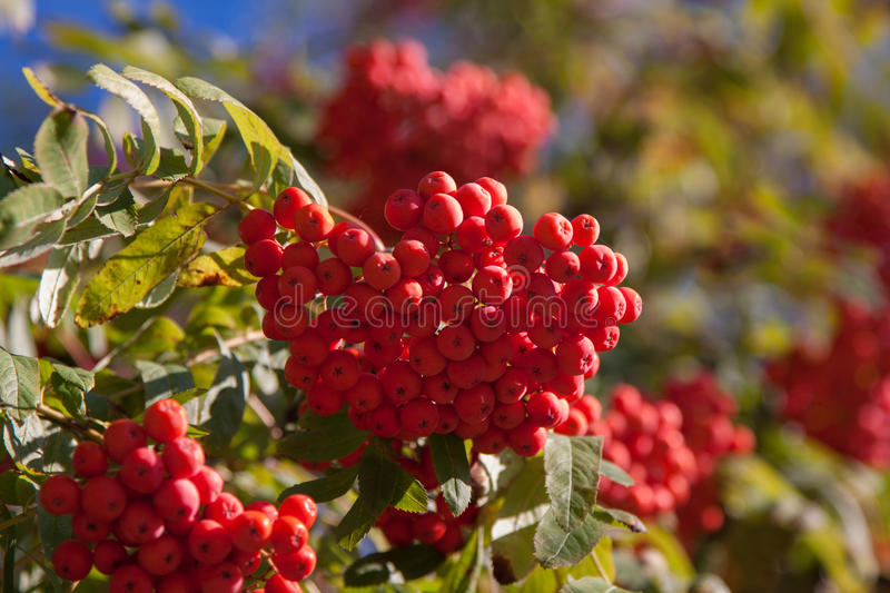 Branch of a mountain ash. With red berries stock photos