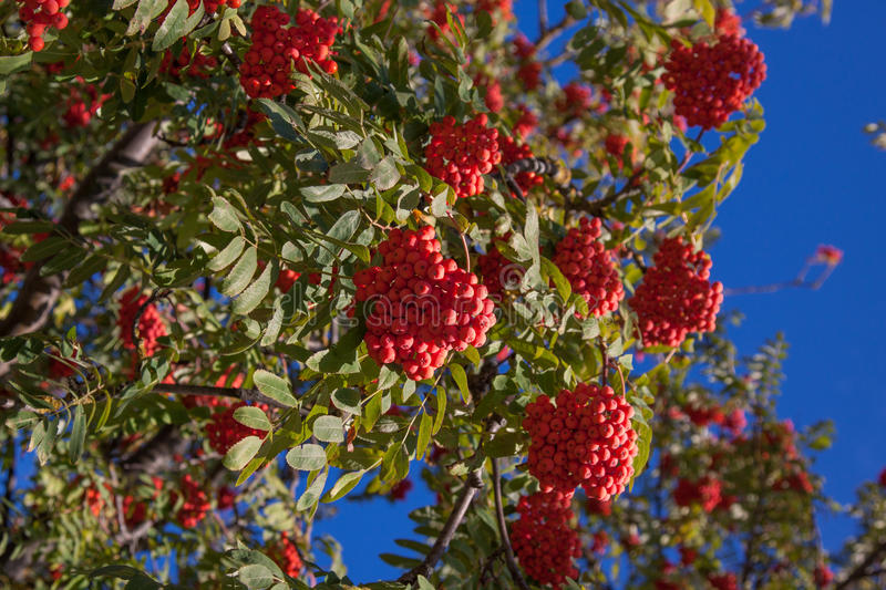 Branch of a mountain ash. With red berries against the blue sky stock photos