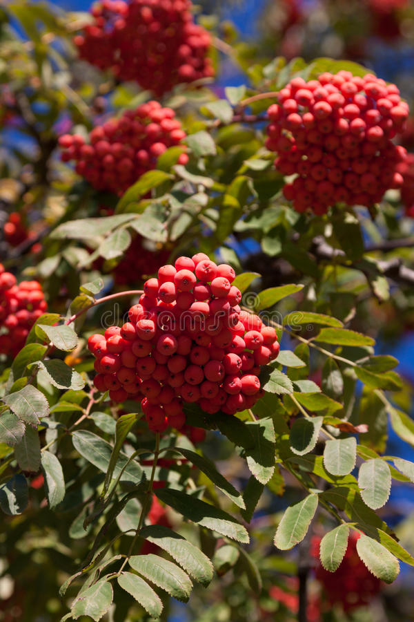 Branch of a mountain ash. With red berries against the blue sky royalty free stock photography