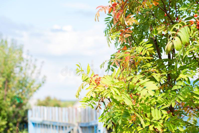 Branch of a mountain ash with red berries against the blue sky stock images