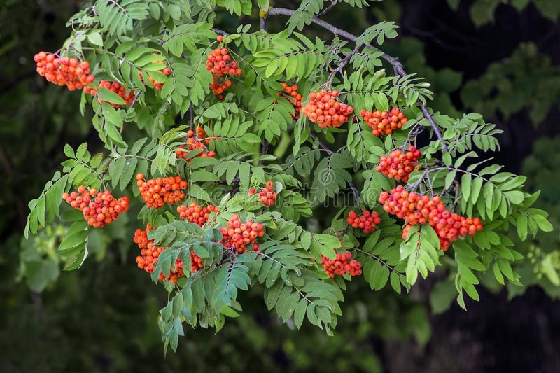 The branch of mountain ash with red berries on a dark background_ royalty free stock images