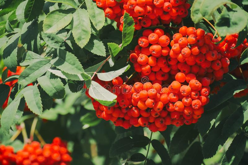 Branch of a mountain ash with red berries. Sorbus aucuparia royalty free stock image