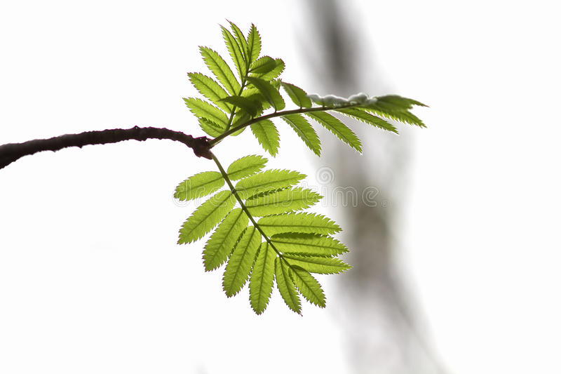 Branch of a mountain ash tree with bright green leaves. On white background royalty free stock images