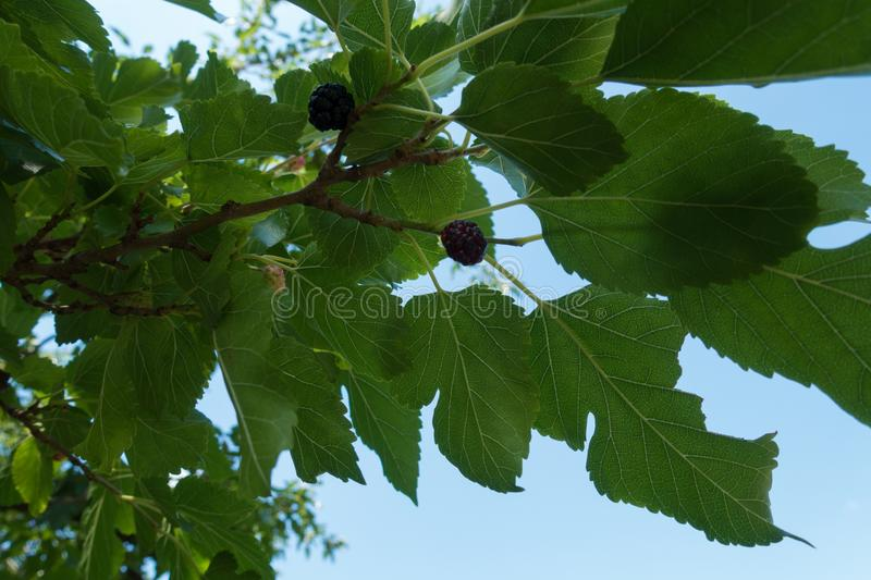Branch of mulberry tree against the sky. Branch of mulberry tree against blue sky royalty free stock photography