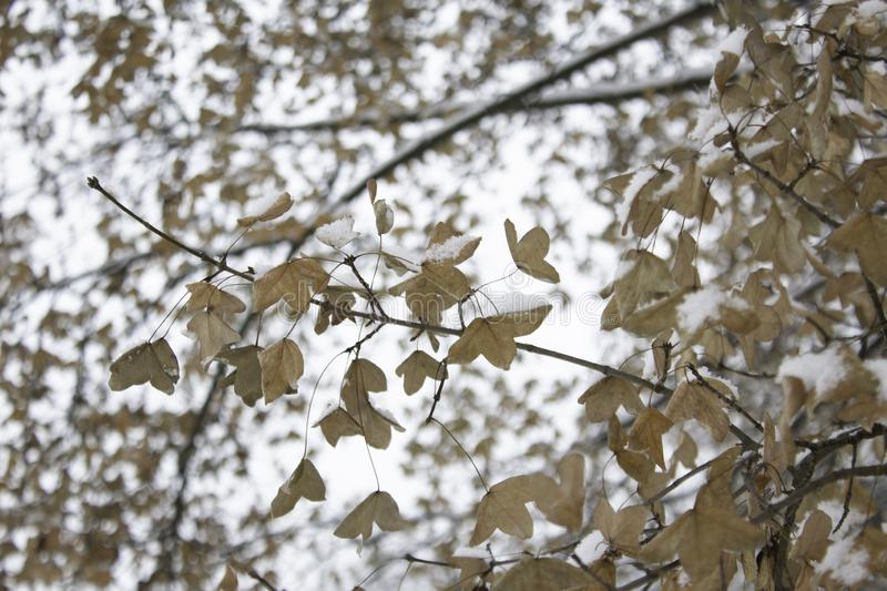 A branch with multiple yellow leaves against the background of other branches covered with snow against the background of cloudy, stock image