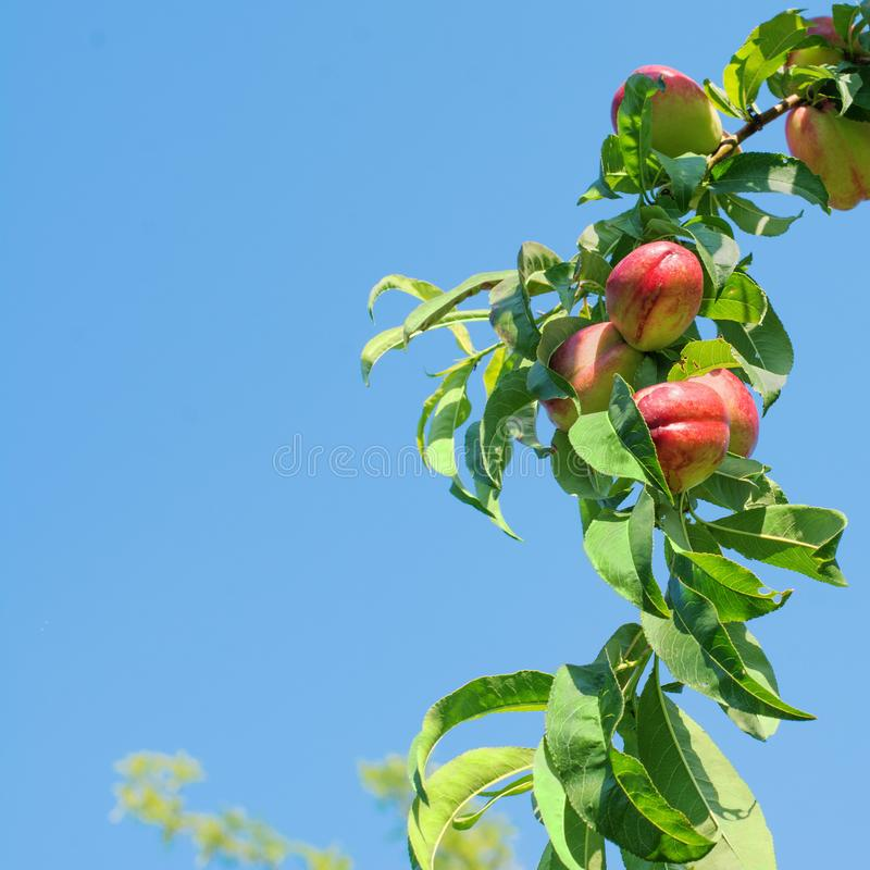 Nectarine tree full of fruits, against a bright blue sky. Branch of a nectarine tree full of ripe fruits, against a bright blue sky royalty free stock photography