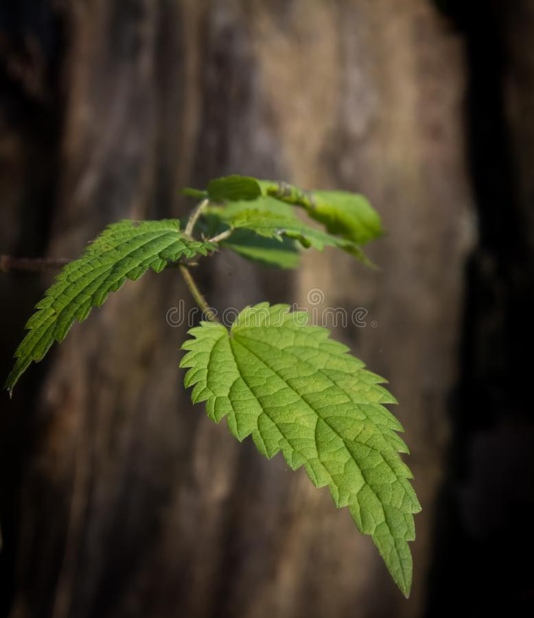 Branch with nettle leaves on the background of an old trunk without oak bark stock images