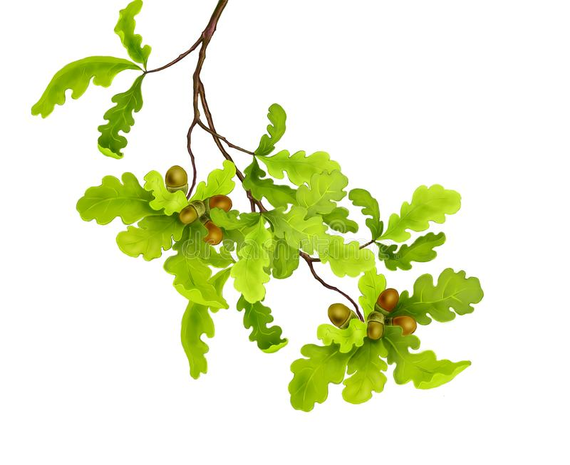 Branch of oak tree with green leaves and acorns on a white background. Digital illustration vector illustration