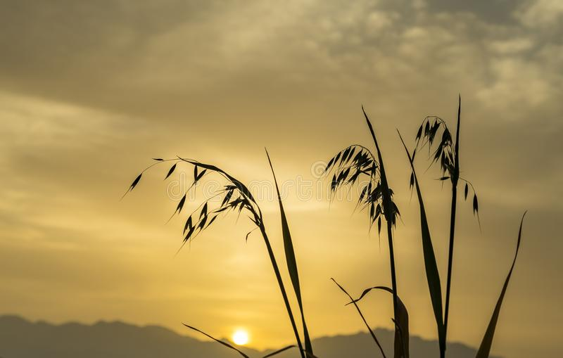 Branch of oat against of the rising sun. Above mountains, focus on plants stock photos