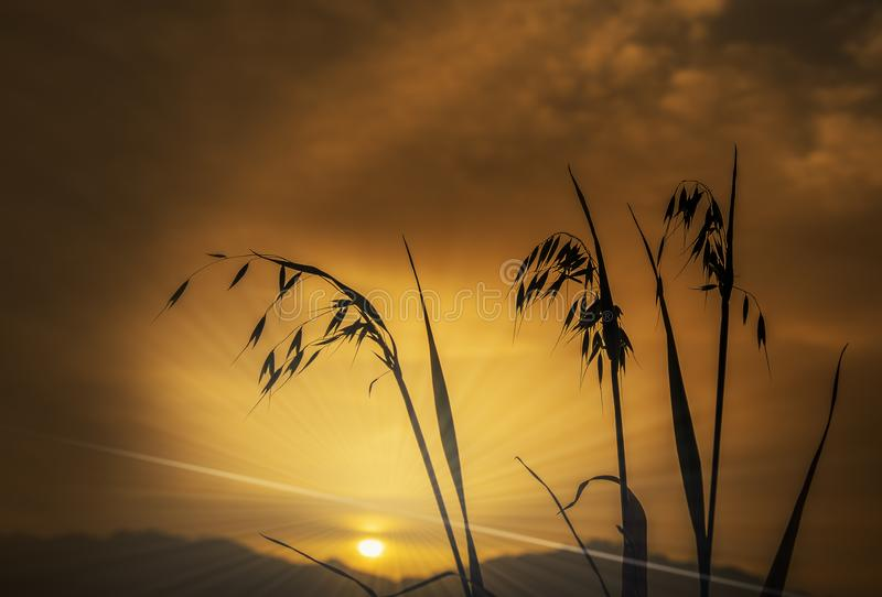 Branch of oat against of the rising sun. Above mountains, focus on plants stock photography