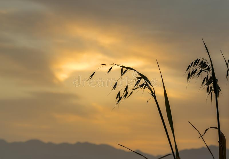 Branch of oat against of the rising sun. Above mountains, focus on plants royalty free stock image