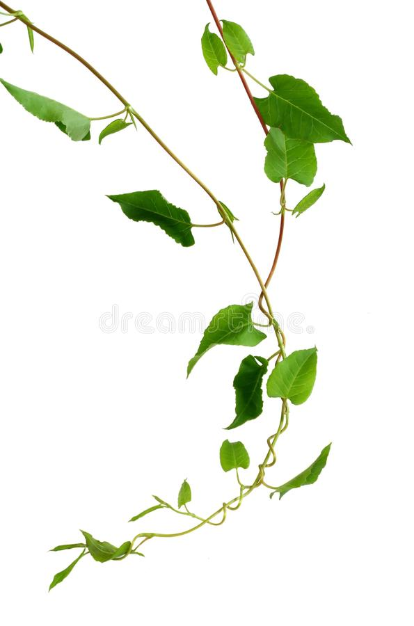 Free Branch Of A Twisted Plant Isolated On White Royalty Free Stock Photo - 11471195