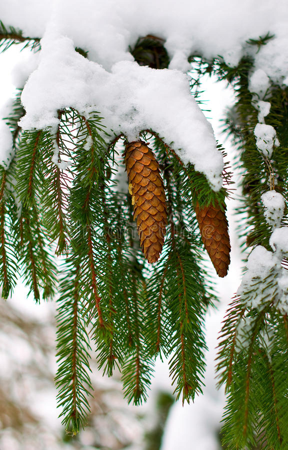 Free Branch Of Fir With Cones Stock Photography - 12788662
