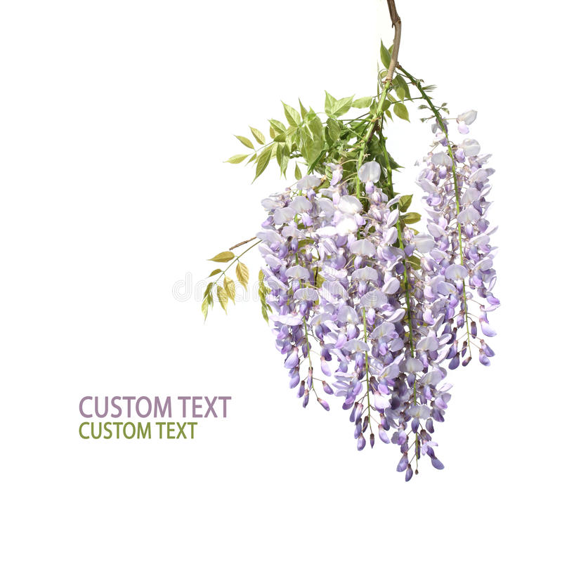 Free Branch Of Wisteria Tree Stock Images - 21634654