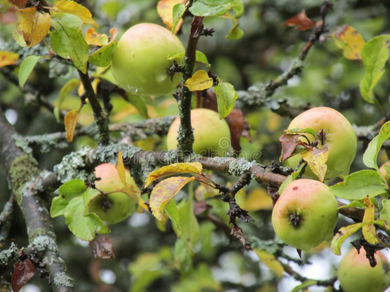 A branch of an old Apple tree with fruits. royalty free stock photo