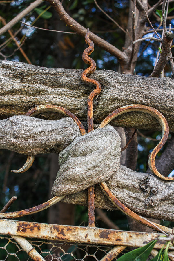 Download Branch Of An Old Tree Wrapping Round Fence Stock Image - Image: 24909521