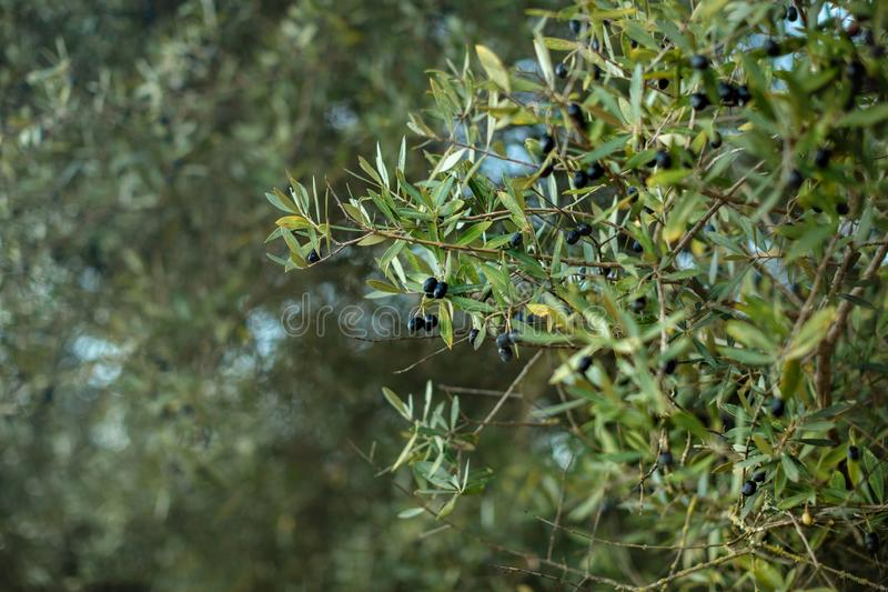A branch of olive tree with ripened black olives against the sky and garden. Outdor. Close-up. Detailed stock image