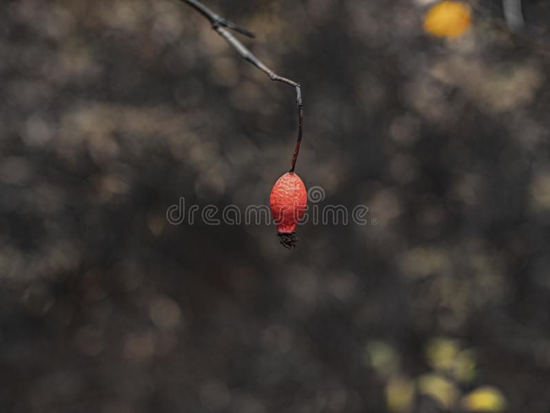 Branch with one rose hip on a beautiful blurred background.  royalty free stock image