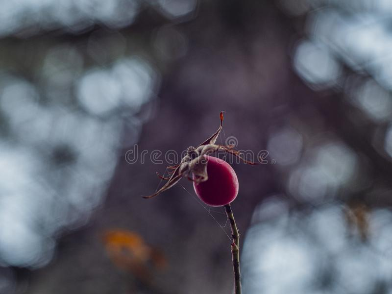 Branch with one wild rose on a beautiful blurred background.  stock photos