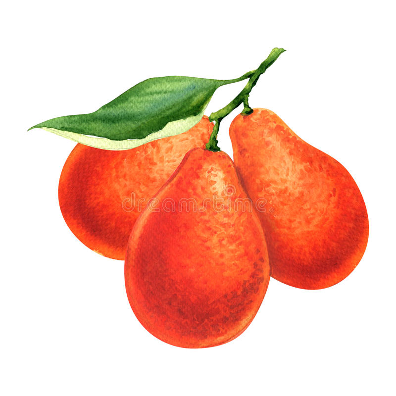 Branch of orange fresh mandarinquat isolated, watercolor painting on white stock illustration