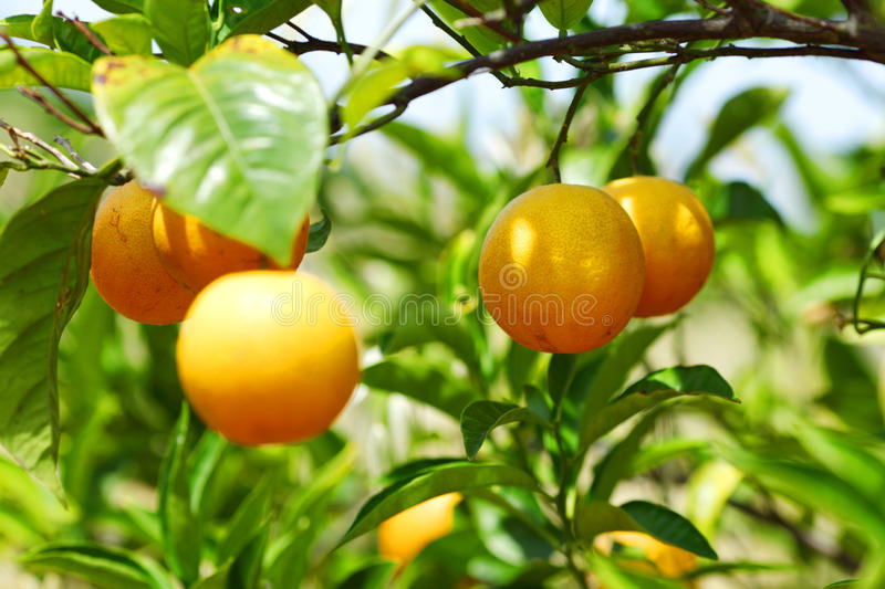 Branch orange tree. Fruits green leaves in Valencia Spain royalty free stock images