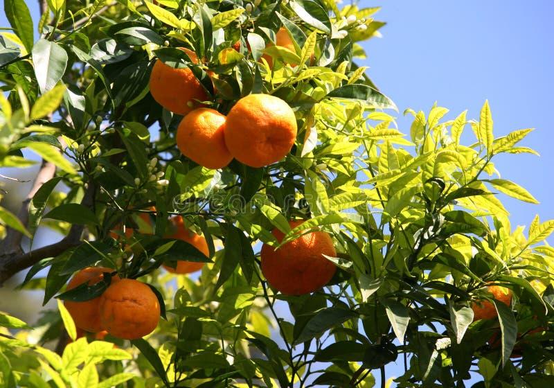 Branch of orange tree royalty free stock photography