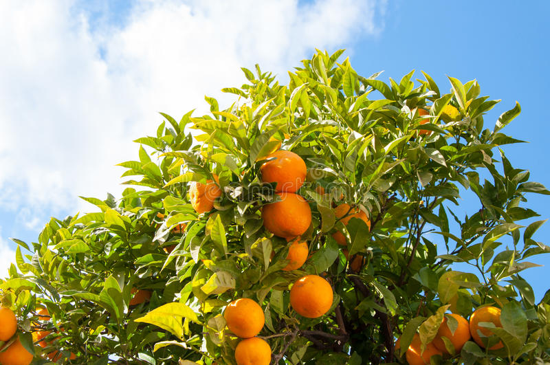 Branch orange tree fruits green leaves in Malaga Spain. Photo of an orange tree in the famous resort Malaga, Costa del Sol, Spain royalty free stock photography
