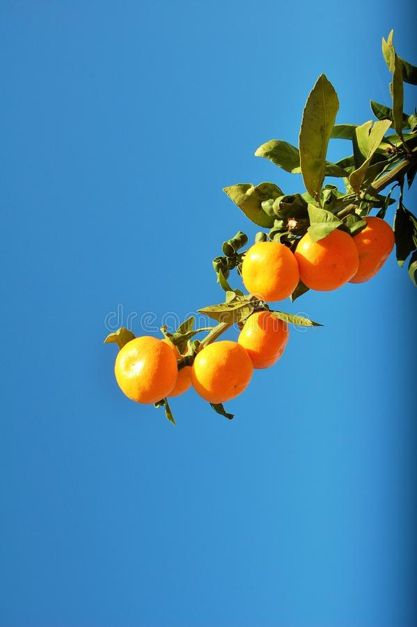 A branch of oranges in a blue sky and sunny day. stock images